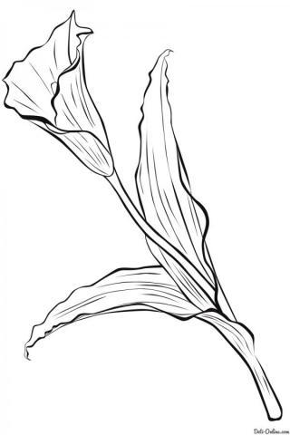Раскраска Калла
